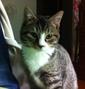 Cuddly Adult Male Tabby Cat Needs a Good Home