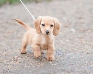 Looking for miniature long haired daschund