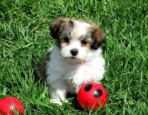 One Maltese/Shih Tzu X who loves to play with you