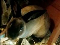 Bundle- Two stunning rex rabbits for sale(includes everything else)