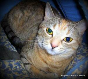 """Adult Female Cat - Domestic Short Hair: """"Nelly"""""""