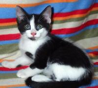 Baby Male  - Domestic Short Hair-black and white-Maine Coon