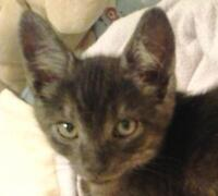 """Young Male Cat - Domestic Short Hair-Tabby: """"Dean (+ Sam)"""""""