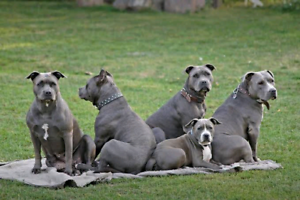 Want to buy American Staffordshire Terrier or English staffy