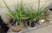 Aloe Vera Plant for Sale Riverton Canning Area Preview