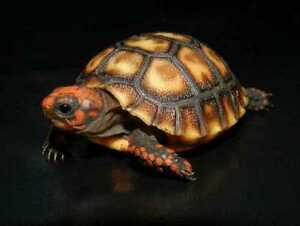 Looking for Red Foot Tortoise (or other)