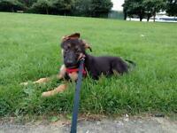 12 week old German Shepherd for sale.