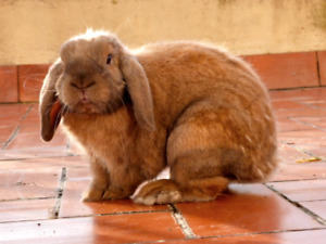 french lop rabbits