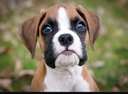 Wanted: Boxer puppy