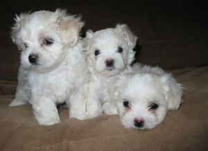 Tiny Maltese Toy Poodle Puppies