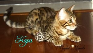 Exotic Bengal Female Kittens...TICA/purebred