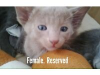 Siamese/Oriental kittens for sale