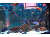 African cichlids (fry/ baby)