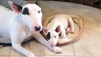 Bull terrier chiots pure race/ Bull terrier puppies pure breed