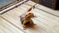 WANTING ALL UNWANTED LIZARDS
