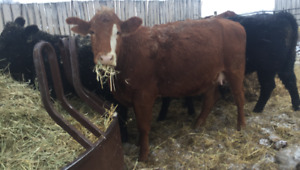Bred cattle for sale