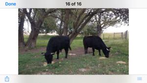 Dexter cow due to calve Sept/Oct    $1250
