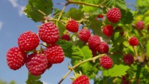 Organic, Pesticide Free Red Raspberry Plants