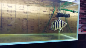 Datnioides Microlepis(Indo Tiger Fish) 10 pouces~poisson,fish