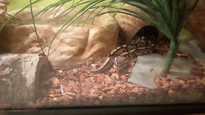 Ball Python + Enclosure
