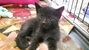 KITTENS AVAILABLE FOR ADOPTION! London Ontario image 1