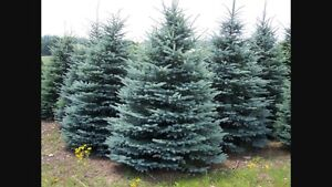 5 varieties of spruce trees for sale; wholesale and retail