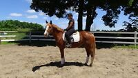 Quiet horse for show, pleasure or trail riding