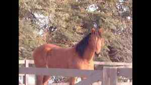 Beautiful Bay Mustang Gelding for Sale