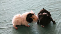Guinea pigs. Abyssinian. 2 males.