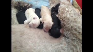 Beautiful Standard Poodle puppies!