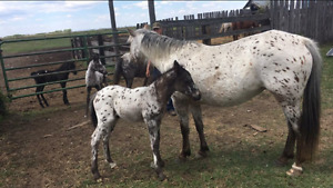 Bay leopard mare and colt