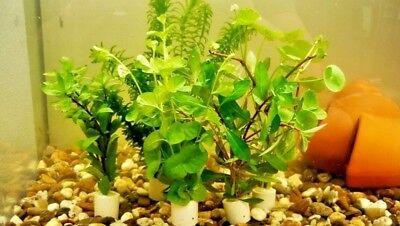 5 Bund Kaltwasser-Set  Aquariumpflanzen Wasserpflanzen 30 Stängel 2,40€/Bun (Fisch-aquarium Pflanzen)