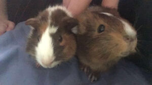 2 Guinea Pigs to New Home