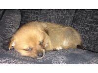 Pomeranian Puppies x4