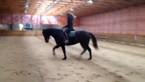 9 YO Quarter Horse Dressage Mare for Sale or LTO
