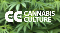 Cannabis Culture Budtender