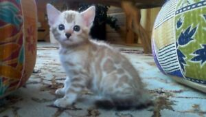 Extraordinary  Registered  Snow Bengals Available