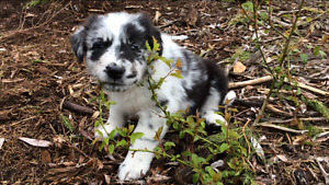 Australian Shep/Border Collie Puppies-Only 2 left - Good quality