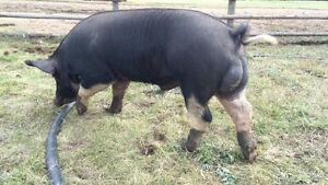 Berkshire boar and sow