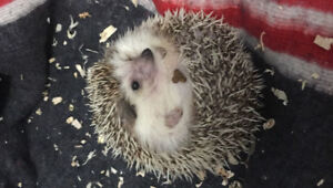 CUTE Hedgehog for sale