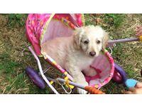 Labradoodle puppy 9 weeks