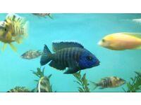 Fish Cichlids 1-2 Inch -- £3