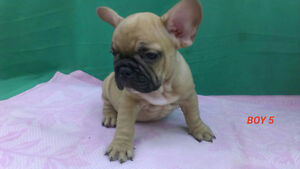 Show quality French bulldog puppies available ,Video