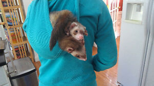 Interested in adopting/buying ferrets!