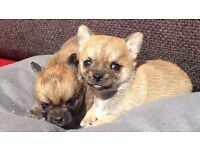Chihuahua puppies pups puppy for sale not pug or French bulldog