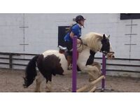 Traditional Gypsy Cob 14.1hh