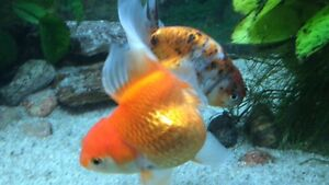 BEAUTIFUL CALICO RANCHU AND ORANGE AND WHITE ORANDA GOLDFISH