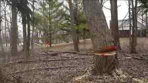 ■■■ BUDGET TREE REMOVAL AND STUMP GRINDING CALL NOW AND SAVE BIG Peterborough Peterborough Area image 2
