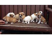 3/4 bred British bulldog puppies