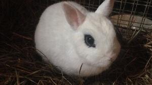 Dwarf Hotot Bunny!